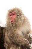 Scimmia giapponese della neve Fotografie Stock Libere da Diritti