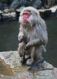 Scimmia giapponese di Onsen a Nagano Immagine Stock Libera da Diritti