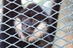 Scimmia in giardino zoologico Fotografia Stock