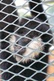 Scimmia in giardino zoologico Fotografia Stock Libera da Diritti