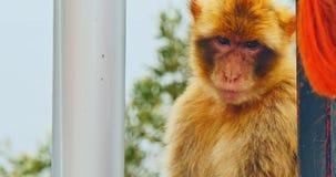 Scimmia in Gibilterra video d archivio
