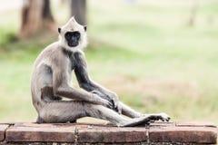 Scimmia grigia trapuntata del langur in Anuradhapura Fotografie Stock