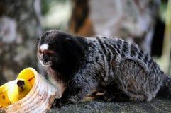 Scimmia - il Callithrix Kuhlii Fotografia Stock Libera da Diritti