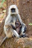 Scimmia indiana del langur nell'habitat della natura Fotografia Stock Libera da Diritti