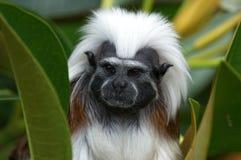 Scimmia insolente Fotografia Stock