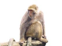 Scimmia isolata su bianco Fotografia Stock
