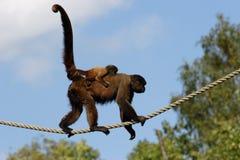 Scimmia lanosa fotografia stock