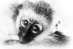 Scimmia lattea Fotografia Stock