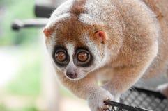 Scimmia lenta di loris Fotografia Stock Libera da Diritti