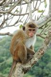 Scimmia - Macaque di cofano (radiata del Macaca) fotografia stock