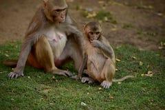 Scimmia Makak Rezus Fotografia Stock Libera da Diritti
