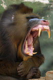 scimmia Mandrill Immagini Stock Libere da Diritti