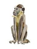 Scimmia (marmoset) Immagini Stock Libere da Diritti