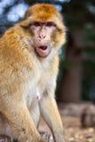Scimmia - Marocco Fotografia Stock Libera da Diritti