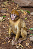 Scimmia - Marocco Fotografia Stock
