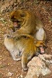 Scimmia - Marocco Immagini Stock