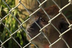 Scimmia messa in gabbia Fotografia Stock