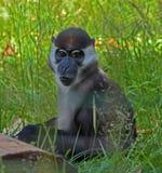Scimmia messa un colletto del mangabey Fotografia Stock