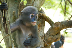 Scimmia molto sola Immagine Stock