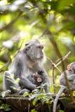 Scimmia munita lunga femminile con il suo infante al seno Fotografia Stock