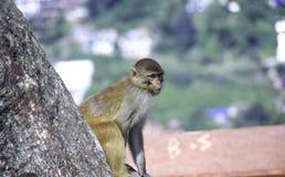 Scimmia nel monastero di Swayambhu Immagini Stock