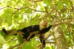Scimmia nell'albero immagini stock