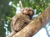 Scimmia nell'albero - Rio de Janeiro fotografie stock