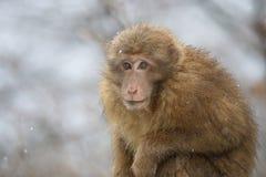Scimmia nell'inverno Immagini Stock Libere da Diritti