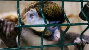 Scimmia nella gabbia stock footage