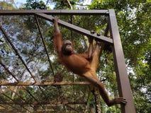 Scimmia nella gatteria Immagini Stock