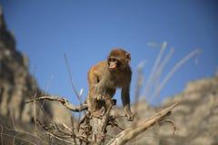 Scimmia nella montagna immagine stock