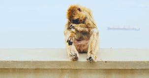 Scimmia nella seduta sulla parete video d archivio