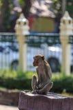 Scimmia nelle attrazioni Fotografie Stock Libere da Diritti
