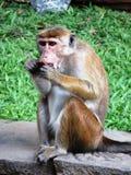 Scimmia nello Sri Lanka Fotografia Stock Libera da Diritti