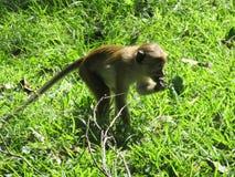 Scimmia nello Sri Lanka Fotografie Stock
