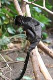 Scimmia nera Immagine Stock