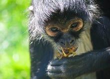 Scimmia nera Immagini Stock Libere da Diritti