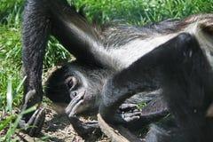 Scimmia nera Fotografia Stock Libera da Diritti