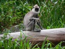 Scimmia nera Fotografie Stock