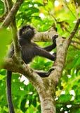 Scimmia nera Immagini Stock