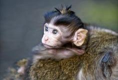 Scimmia nervosa del bambino Fotografia Stock Libera da Diritti