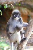 Scimmia oscura del foglio Immagine Stock Libera da Diritti
