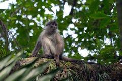 Scimmia oscura del foglio Fotografie Stock