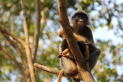 Scimmia oscura del foglio Fotografia Stock