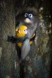Scimmia oscura del foglio Fotografia Stock Libera da Diritti