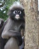 Scimmia oscura del foglio immagini stock libere da diritti