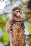 Scimmia oscura del foglio del bambino/Langur dagli occhiali Fotografia Stock
