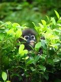 Scimmia oscura del foglio/L dagli occhiali Immagine Stock Libera da Diritti