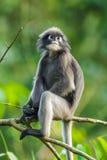 Scimmia oscura della foglia Fotografie Stock Libere da Diritti
