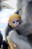 Scimmia oscura della foglia; Fotografia Stock Libera da Diritti